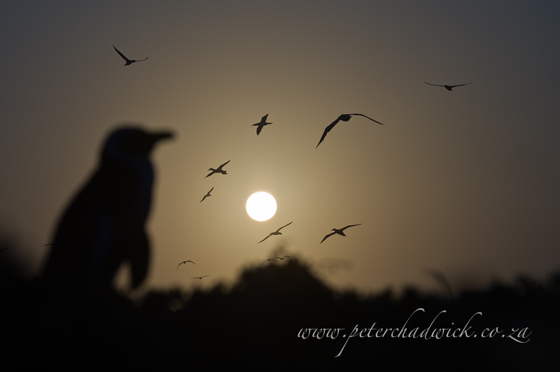 african penguin at dusk by wildlife and conservation photographer Peter Chadwick