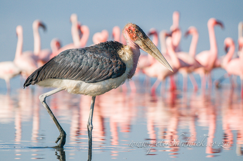 Marabou stork on patrol by wildlife and conservation photographer Peter Chadwick