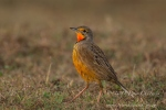 Cape Longclaw by wildlife and conservation photographer Peter Chadwick.