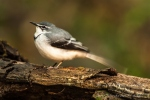 long_tailed_wagtail by wildlife and conservation photographer Peter Chadwick.jpg