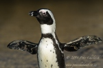 African penguin stretching by wildlife and conservation photographer Peter Chadwick.jpg
