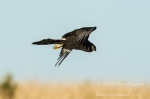 Black Harrier by wildlife and conservation photographer Peter Chadwick.jpg