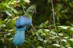 Knysna Turaco by wildlife and conservation photographer Peter Chadwick.jpg