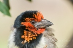Black Collared Barbet by wildlife and conservation photographer Peter Chadwick.jpg