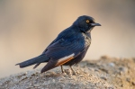 Pale winged starling by wildlife and conservation photographer Peter Chadwick.jpg