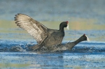 red-knobbed coots fighting by wildlife and conservation photographer Peter Chadwick.jpg