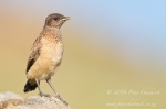 Buff-streaked chat by wildlife and conservation photographer Peter Chadwick.