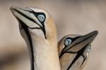 Cape Gannets on Malgas Island