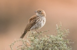 karoo lark by wildlife and conservation photographer peter chadwick.jpg