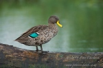 Yellow-Billed Duck by wildlife and conservation photographer Peter Chadwick.jpg