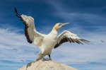 Cape Gannet on Malgas Island
