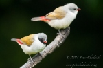Swee Waxbills by wildlife and conservation photographer Peter Chadwick.