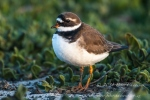 Ringed plover by wildlife and conservation photographer Peter Chadwick.jpg