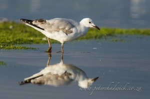 Immature Hartlaubs Gull drinking by wildlife and conservation photographer Peter Chadwick.