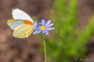 A Butterfly Feeding | ©Arne Purves | Harold Porter National Botanical Garden