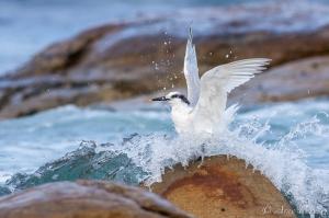 A Sandwich Tern Takes Flight | Cape Point | Table Mountain National Park | Bird Photography | © Arne Purves