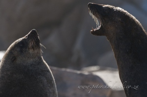 fighting Cape Fur Seals by wildlife and conservation photographer Peter Chadwick