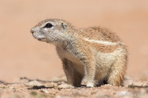 Inquisitive Ground Squirrel Gaze | Kgalagadi Transfrontier Park | ©Arne Purves