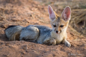 Cape Fox (Vulpes chama) | Kgalagadi National Park