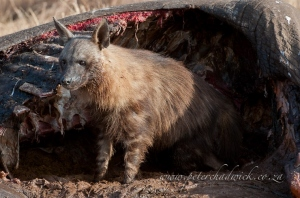 Brown Hyena by wildlife and conservation photographer Peter Chadwick.