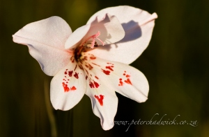 Gladiolus debilis by wildlife and conservation photographer Peter Chadwick.