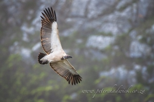 Cape vulture in flight by wildlife and conservation photographer Peter Chadwick.jpg