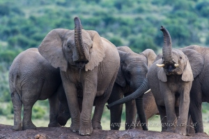 Cautious African elephants by wildlife and conservation photographer Peter Chadwick