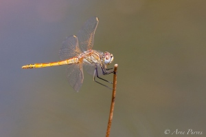 A Dragonfly Balances Delicately | ©Arne Purves | Wildlife Photography | Goegap Nature Reserve