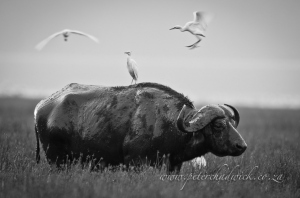 Cape buffalo and cattle egrets by wildlife and conservation photographer peter chadwick