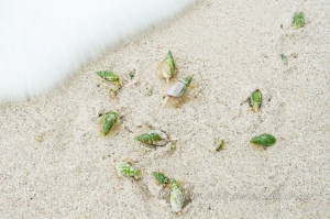 Ploughshare snails on the beach by Wildlife and Conservation Photographer Peter Chadwick.
