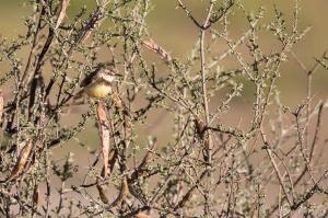 Black-Chested Prinia | Kgalagadi Transfrontier Park | Kalahari | @ Arne Purves | Bird Photography