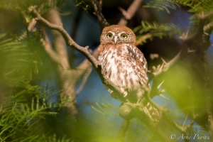 Pearl-spotted Owl in Mata Mata Camp, Kgalagadi | ©Arne Purves