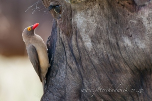 A Red-Billed Oxpecker perches on the face of a Cape Buffalo bull by wildlife and conservation photographer Peter Chadwick