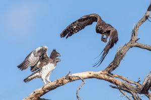 Martial Eagle Combat