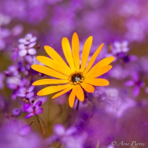 Yellow Daisy In A Sea of Purple | Spring Flowers | Macro Photogrpahy | ©Arne Purves