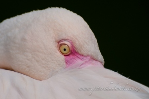 Greater Flamingo resting by wildlife and conservation photographer peter chadwick