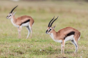 Thompsons Gazelles in the rain by wildlife and conservation photographer Peter Chadwick