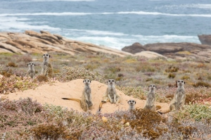 A Lazy Meerkat Weekend | Namaqua National Park | Wildlife Photography | ©Arne Purves