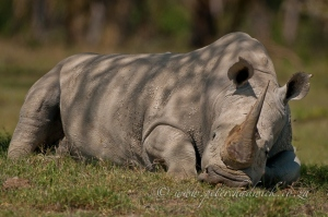 Sleeping rhino bull by wildlife and conservation photographer Peter Chadwick.