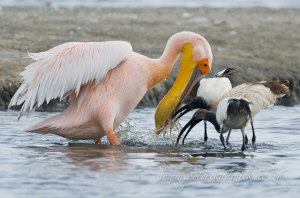 Great White Pelican and Sacred Ibis by wildlife and conservation photographer Peter Chadwick.
