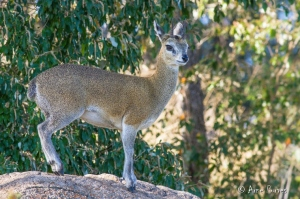 Klipspringer (Oreotragus oreotragus) in the Kruger National Park