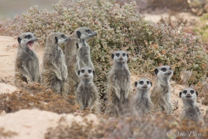 Midweek Meerkat Yawn | ©ArnePurves | Namaqua National Park | Wildlife Photography