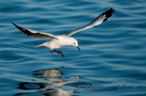 Hartlaubs gull landing on the water by wildlife and conservation photographer Peter Chadwick