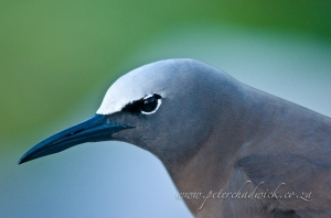 Noddy tern portrait by wildlife and conservation photographer Peter Chadwick.