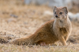 Yellow Mongoose by Wildlife and Conservation photographer Peter Chadwick