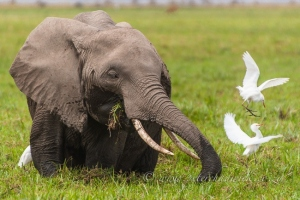 African Elephant feeding in Amboseli swamp by wildlife and conservation photographer Peter Chadwick.