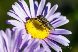 Fly on Felicia Flower
