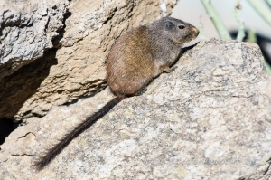 Dassie rat by wildlife and conservation photographer Peter Chadwick.jpg