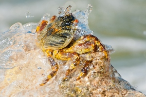 Sally-footed crab by wildlife and conservation photographer Peter Chadwick.