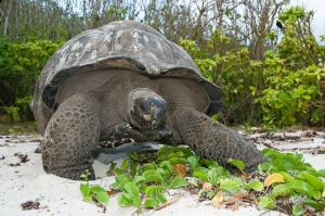 Aldabra Giant Tortoise by wildlife and conservation photographer Peter Chadwick